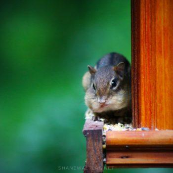 Shane Walters Images - Chipmunk In Bird Feeder