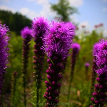 Chesterfield Central Park ( Shane Walters Images ) Flowers 0887